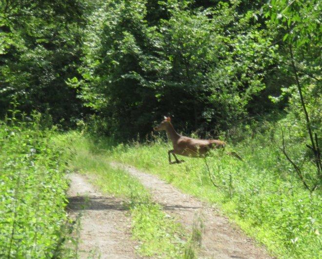 Red deer hind jumping