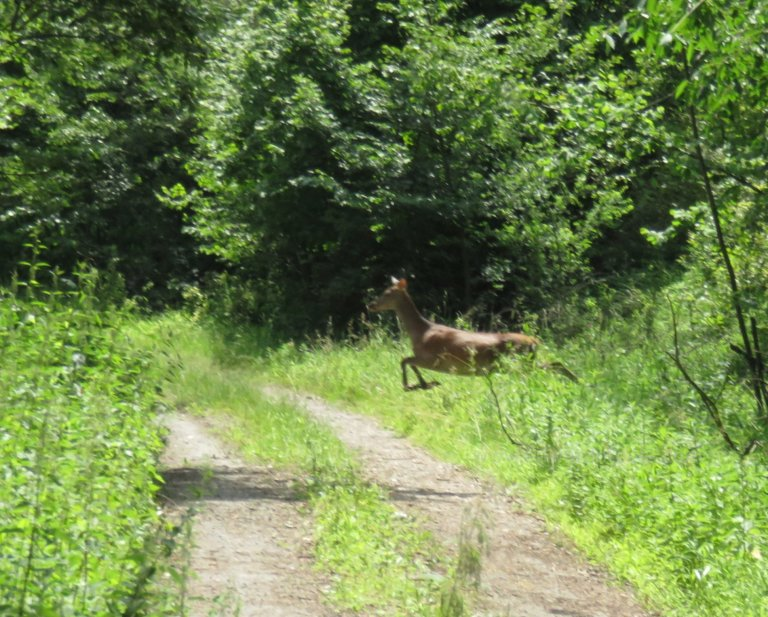 Red deer hind jumping