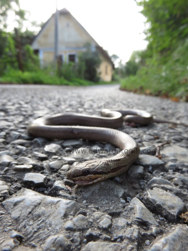 Dead Smooth Snake