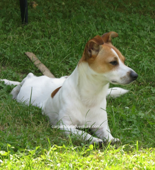 Sandy, my Jack Russell terrier