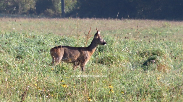 Roe deer buck behind house