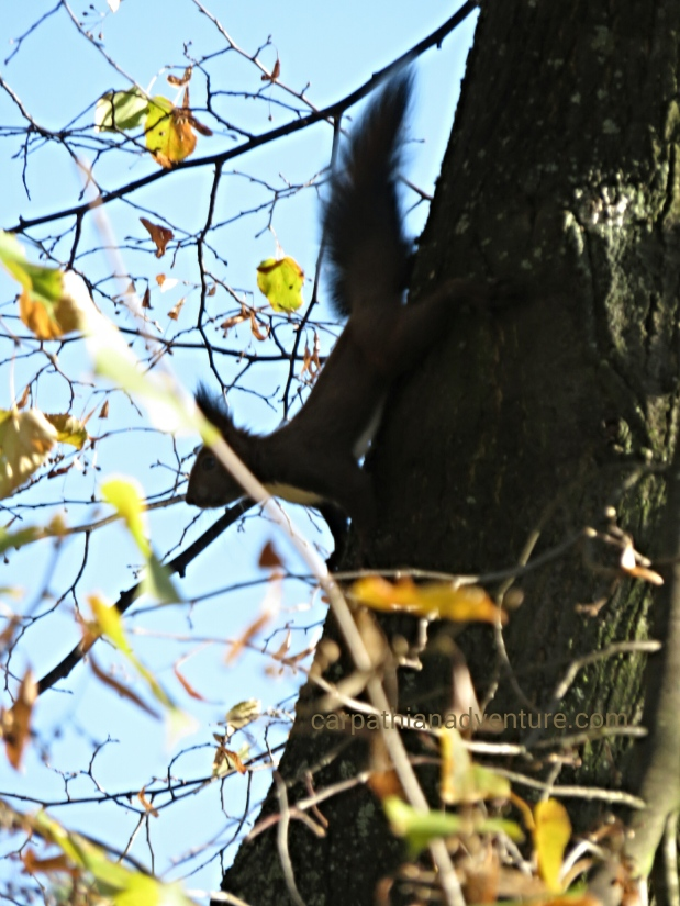 Red squirrel intree