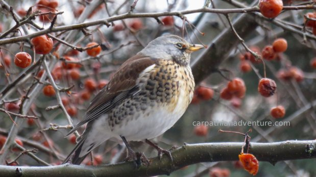 Fieldfare and winter berries