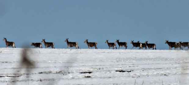 Red Deer Hind Herd in Snow