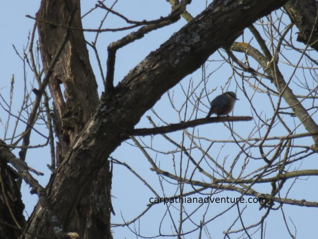 Nuthatch in atree