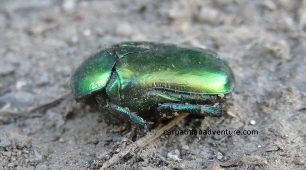 Ballad of the Rose Chafer