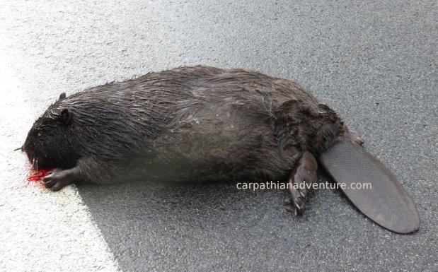 Beaver roadkill