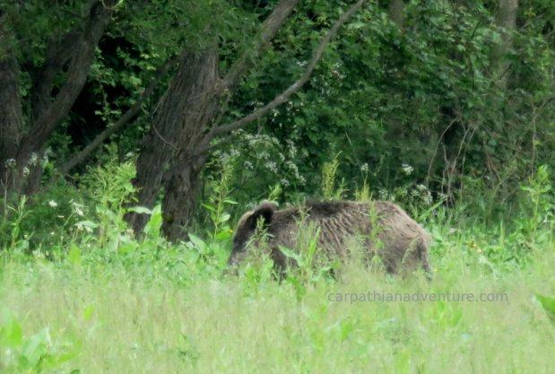 Surprise boar