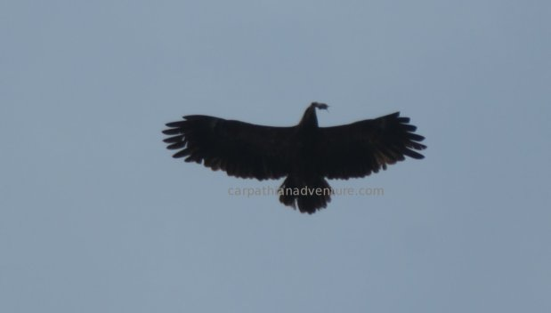 Lesser Spotted Eagle withmouse