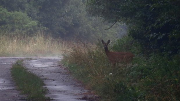 Young Red Deer hind in mist