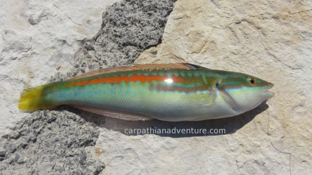 Mediterranean Rainbow WrasseFish