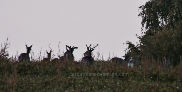 How to sneak up on a Red deer herd