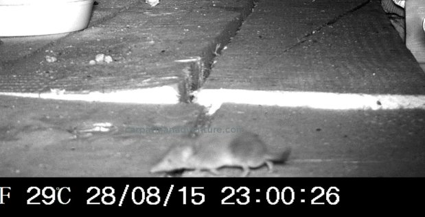Common Shrew trailcam IR