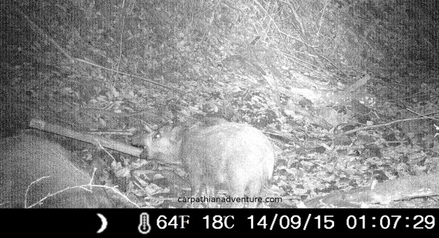 Young Wild Boar trailcam infrared