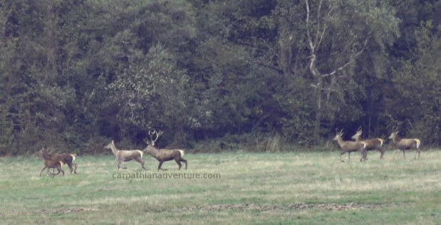Stag and Red Deer herd