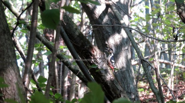 White-backed Woodpecker?