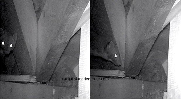 Beech Marten infraredconundrum