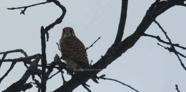 Kestrel in tree