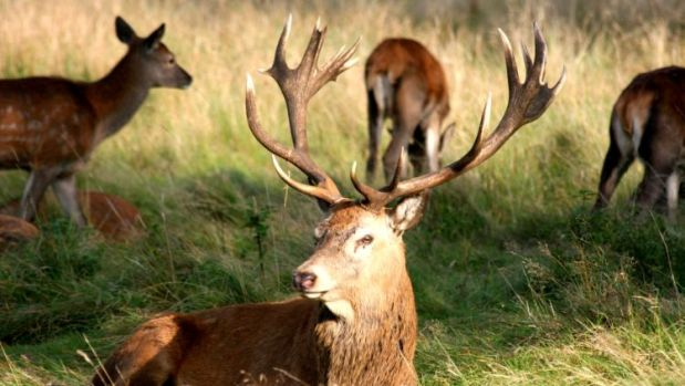 Red Deer Stag Kills Man